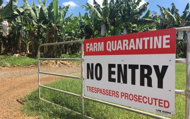 #Panama disease outbreak prompts banana supply fears - The New Daily: The New Daily Panama disease outbreak prompts banana supply fears The…