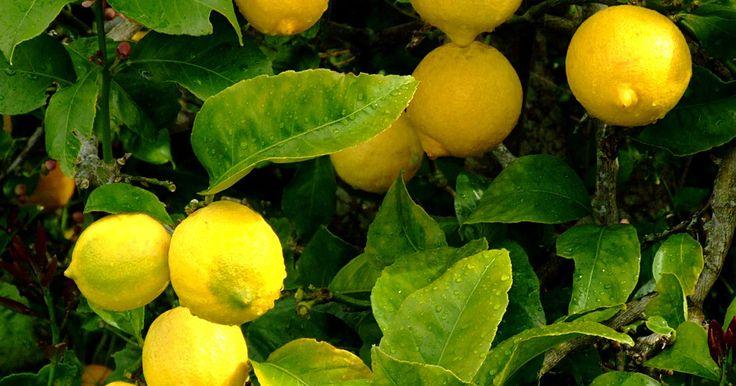 La desintoxicación de limón, el jarabe de arce y la pimienta de cayena