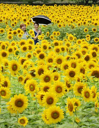 Sunflowers in Sayo, Hyogo prefecture, Japan, 10 July 2013 (© Mainichi)