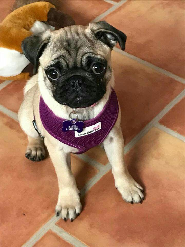 16 Unreal Pug Cross Breeds You Have To See To Believe Pug Mixed