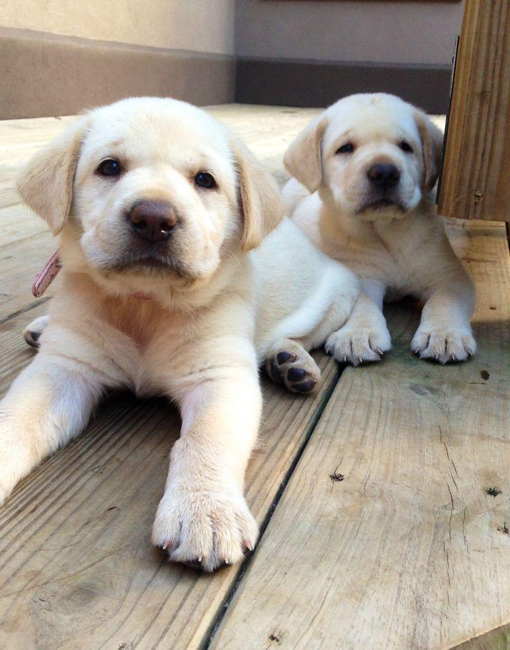 Yellow Lab Puppies!!!