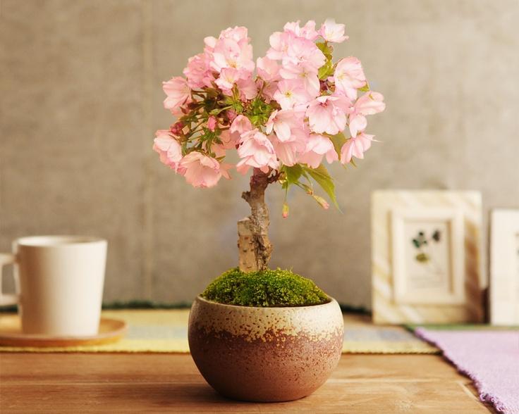 mini bonsai 旭山桜の盆栽