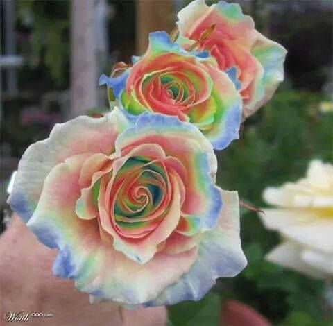 25 best ideas about rainbow roses on pinterest rainbow for Dual color roses