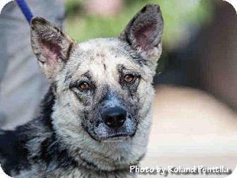Albuquerque, NM - Australian Shepherd Mix. Meet KASEY, a dog for adoption. http://www.adoptapet.com/pet/18716072-albuquerque-new-mexico-australian-shepherd-mix