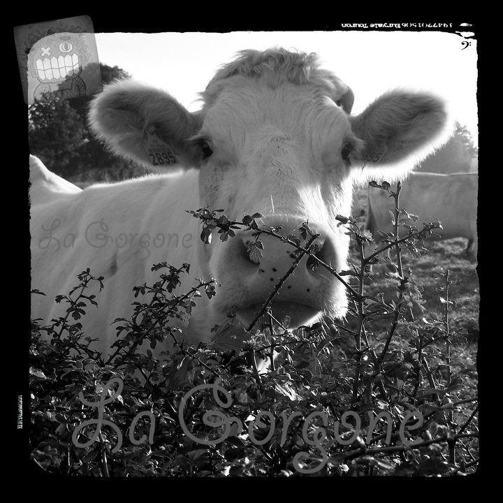 les 122 meilleures images propos de vache cow sur. Black Bedroom Furniture Sets. Home Design Ideas