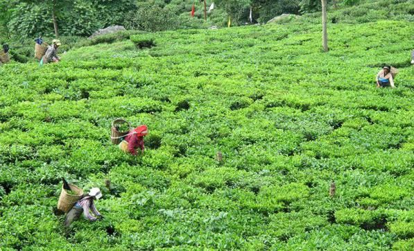 Read #Article On Simple Ways To Evaluate And Brew Darjeeling Teas. #halmaritea