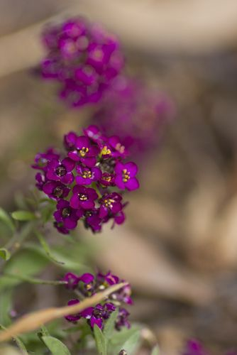 """Alluring Alyssum - Could the meaning of a name, in the language of flowers, be any more incredible than that of sweet alyssum, meaning """"worth beyond beauty"""" or """"sweetness of soul""""?"""