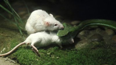 Mighty mouse attacks snake to save pal