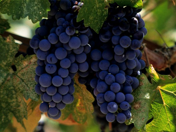 Foldaway Tote - Aged grapes in a vessel by VIDA VIDA BDV2vVVbAi