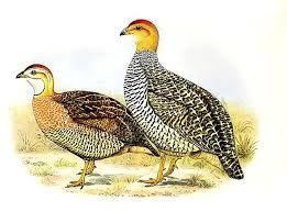 Image result for Coqui francolin