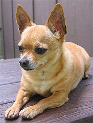 Long-haired Chihuahua (apple-head). Breeders often use terms like Teacup, Pocket Size, Tiny Toy, Miniature or Standard to describe puppies. These terms are not recognized by the breed standards Chihuahuas are commonly referred to as either Apple or Deer heads, the former having short noses and rounded heads similar to that of an apple the latter having longer noses and more elongated heads. The Chihuahua breed standard calls for a well rounded (Apple) head with a well defined stop at the…