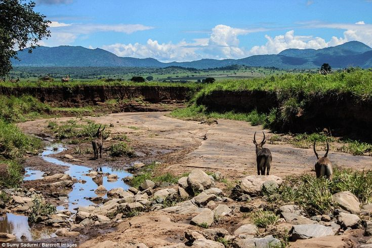Despite the habitable Kidepo National Park situated nearby, due to tsetse flies, pastors cannot take their precious cattle there as it would risk disease