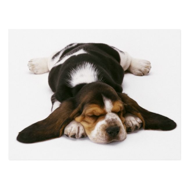 Sleepy Basset Hound Puppy Postcard Hallmark Greeting Card Cute