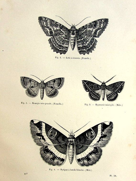 1860 Vintage moths engraving, antique original lepidoptera print, butterfly papillon plate illustration, insect  zoology  for framing.