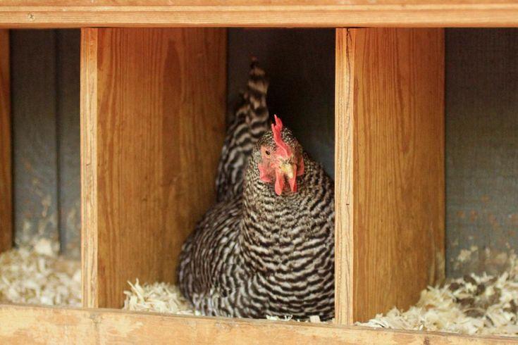 Making Chicken Nesting Boxes | Animals, Wildlife, and Garden Pests | HGTV
