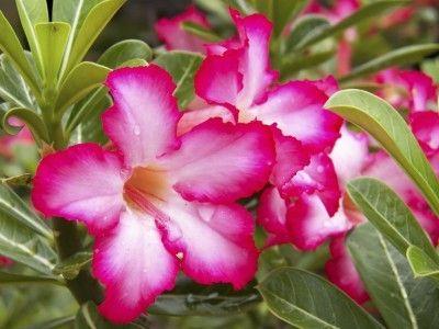 Desert Rose Plant Care – Learn Some Adenium Desert Rose Growing Tips