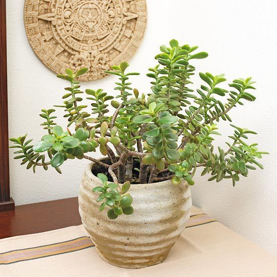 Best 25 jade plants ideas on pinterest cacti and for Indoor flowering plants low light