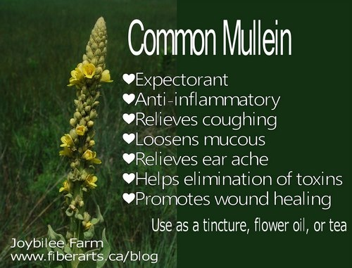 Mullein for colds amp flu don t pass it by any longer you will need