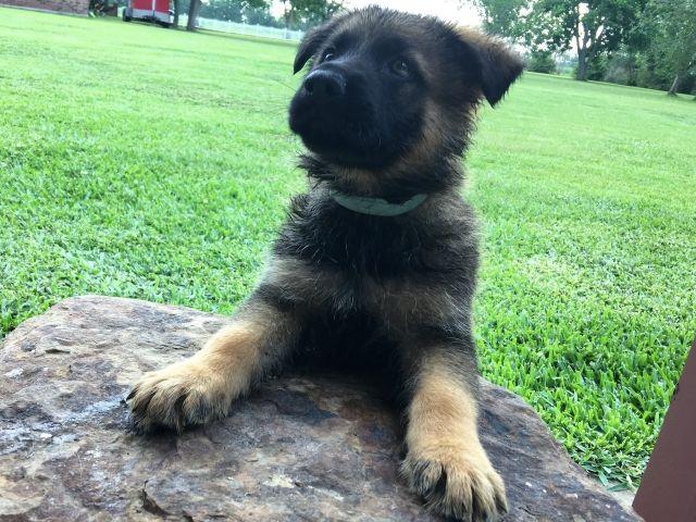 Purebred German Shepherd Puppies for Sale – Louisiana Cajun Mansion
