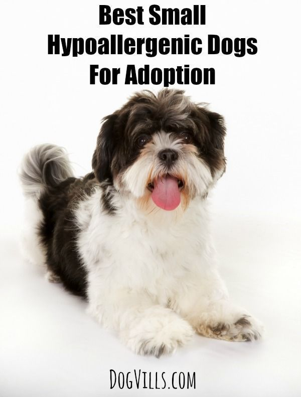 Best Small Hypoallergenic Dogs For Adoption: Looking for the best small hypoallergenic dogs for adoption? Check out our list of some of the sweetest pooches that your family will adore!