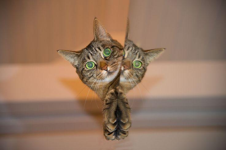 Kat, Huisdier, Spiegel