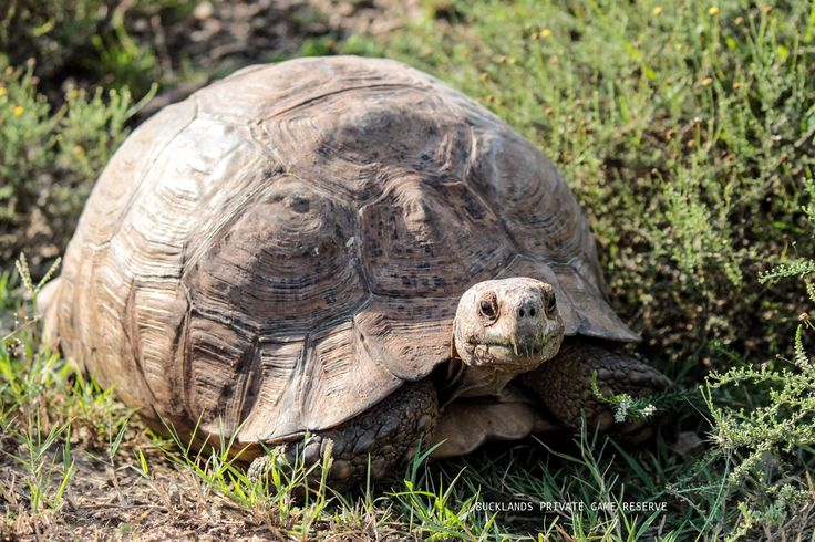 A Leopard Tortoise ambling along his way. #photography #tortoise #gamedrives #bucklandsprivategamereserve