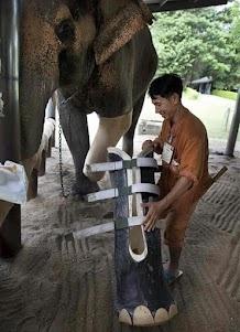 A second chance / La vida siempre regala una nueva oportunidad... This elephant lost her leg by stepping on a land mine along the Thai-Mayanmar border.