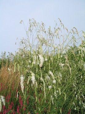 Sanguisorba tenuifolia var. alba - Pimpernel