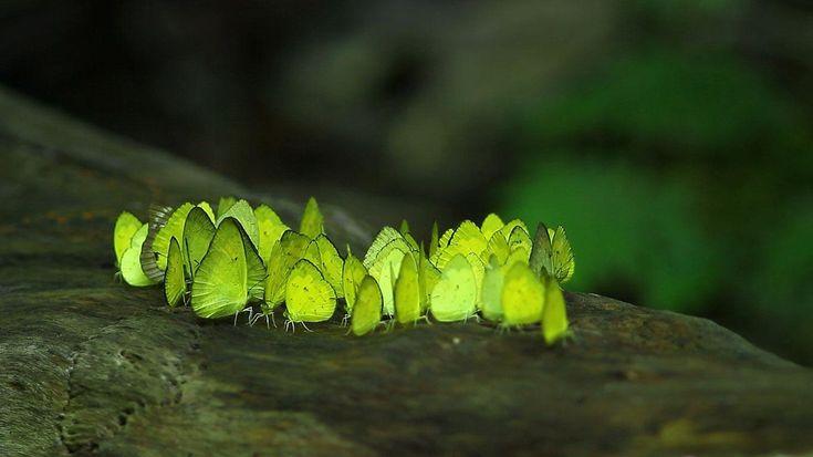 Kaeng Krachan National Park Thailand | Butterflies from Kaeng Krachan National…