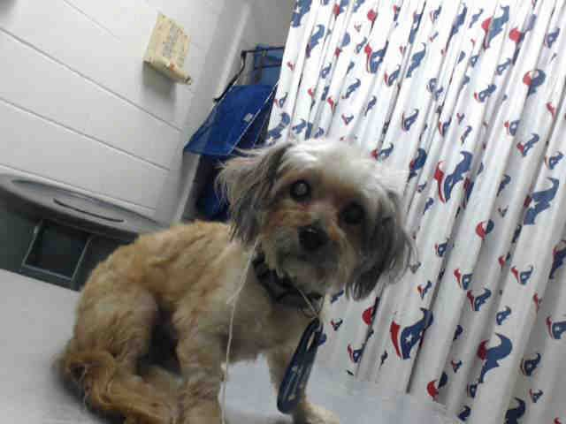 11/02/16-HOUSTON - HIGH KILL FACILITY - ALL DOGS URGENT DUE TO OVERCROWDING -This DOG - ID#A471452  I am a male, apricot Maltese mix.  The shelter staff think I am about 6 years old.  I have been at the shelter since Oct 31, 2016.  This information was refreshed 6 minutes ago and may not represent all of the animals at the Harris County Public Health and Environmental Services.