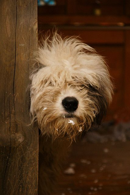 Great looking pic of an English Sheepdog. #puppied