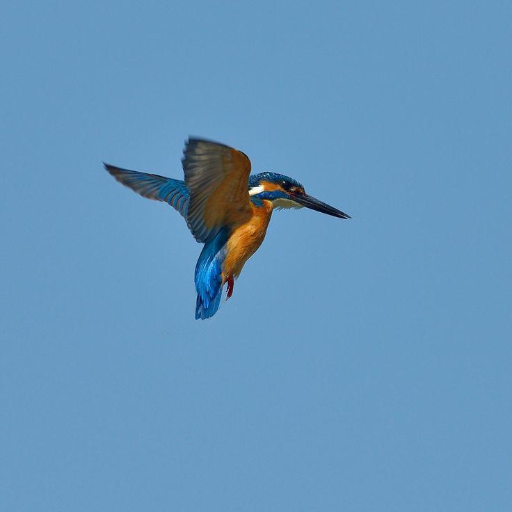 Kingfisher Flying Kingfisher! #ki...