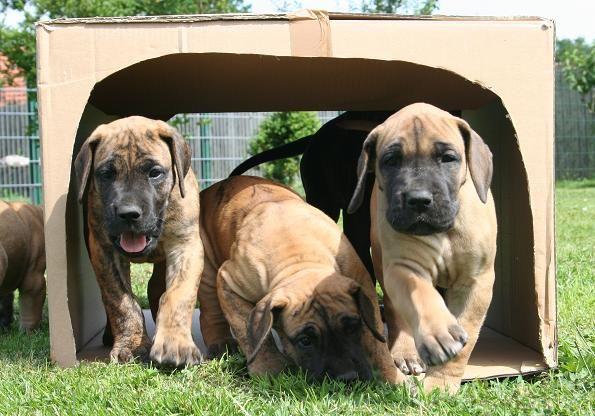 gelbe deutsche dogge | Doggen Nordstern Deutsche Doggenwelpen Dogge Doggen Hunde Rassehunde ...