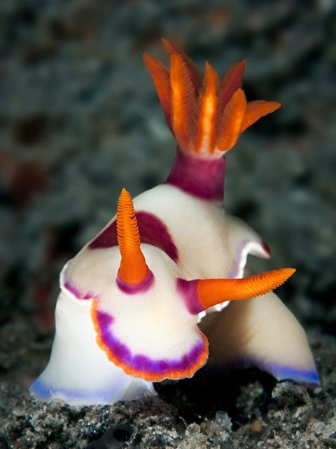 Nudibranch Hypselodoris sp | Nigel Thomas | Flickr