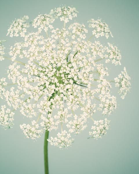 Botanical Print, Flower Photography, Wall Art, Nature Photography, Fine Art Photograph, Flower Photo, Queen Anne's Lace, Aqua & Ivory Art