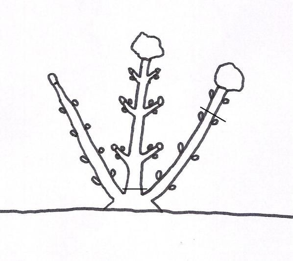 Potare le ortensie è semplice ma spesso si vedono piante rovinate da potature sbagliate protratte nel tempo. Solitamente ci si limita a ridurre la lunghezza dei rami causando un invecchiamento e un…