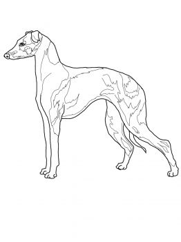 find this pin and more on favorite dog colouring pages italian greyhound