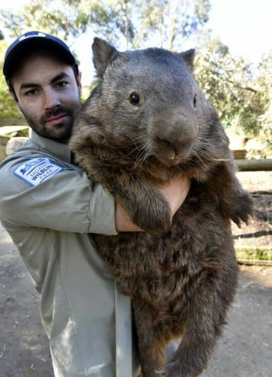 Patrick the Wombat. The oldest living wombat (turned 29 in 2014) in Ballarat Australia. He's 88 lbs.