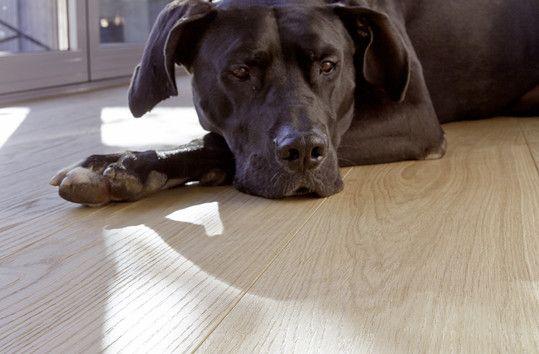 Ein Haustier auf Bauwerk Parkett ist mit B-Protect® Oberflächenschutz kein Problem.