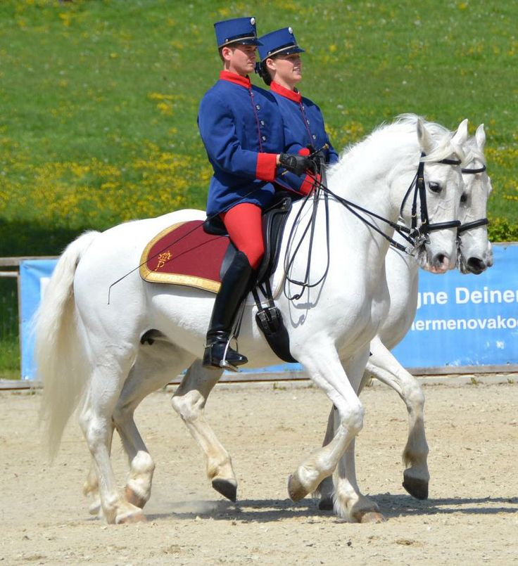 The Spanish Riding School & Piber Stud mares under saddle during the Summer Gala