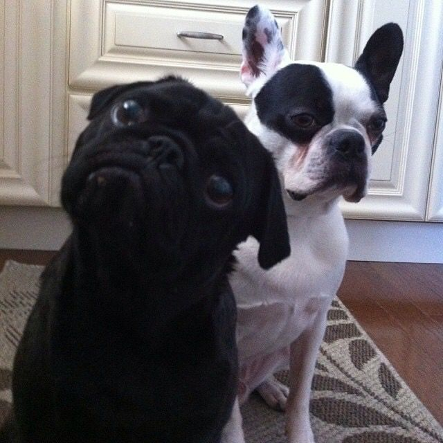 This Linkin our little black pug stealing the limelight from his best bud, Boston terrier, Boomer!
