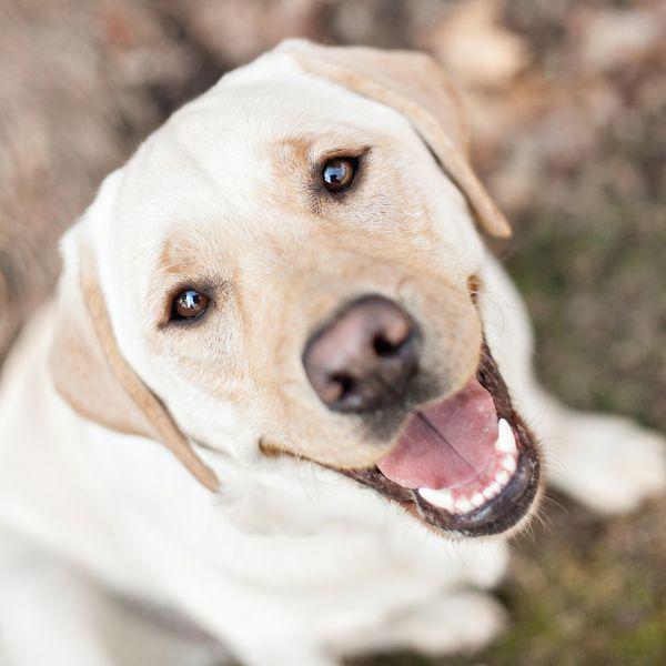 © Paw Prints - Pet Portraits By Charlene | Daily Dog Tag | Happy-Yellow-Labrador-Retriever
