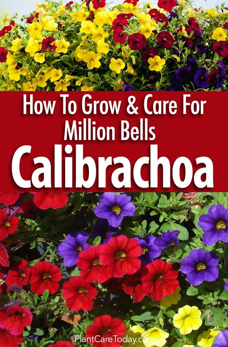 Calibrachoa million bells a must have in the garden with its vibrant, colorful flowers by the hundreds make this a dazzling garden addition [LEARN MORE]