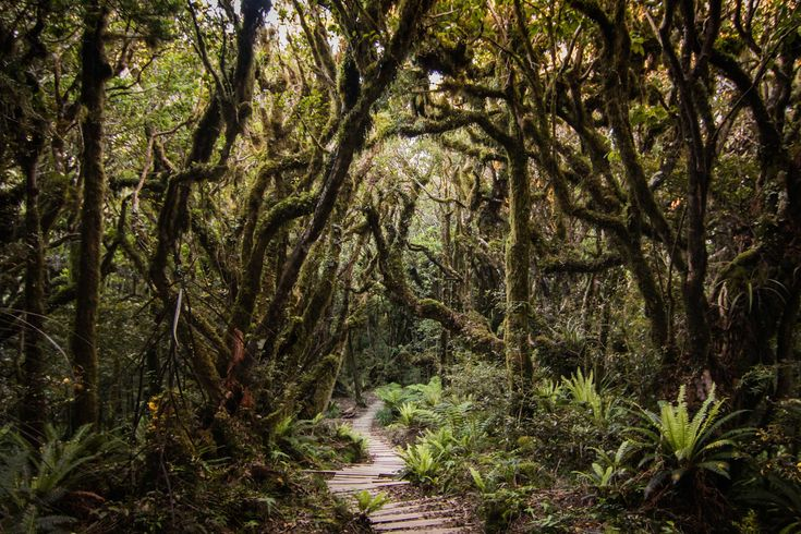 The gnarled trunks and twisted, moss-covered branches give Egmont National Park its moniker of the 'goblin forest'. Photo by Rebecca Teng