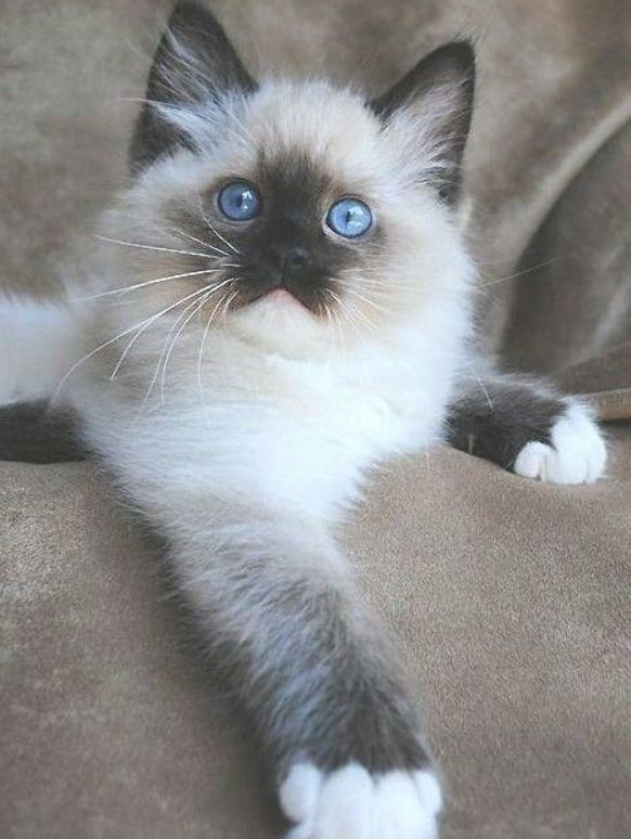 Pin On Siamese And Blue Eyed Beauties
