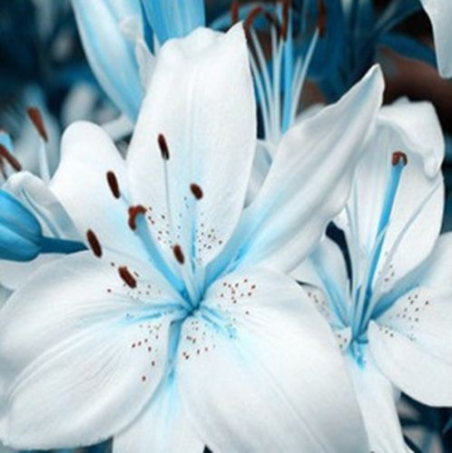 10 White Lily Flower Seeds Star Gazer Lilium USA Seller FREE Shipping