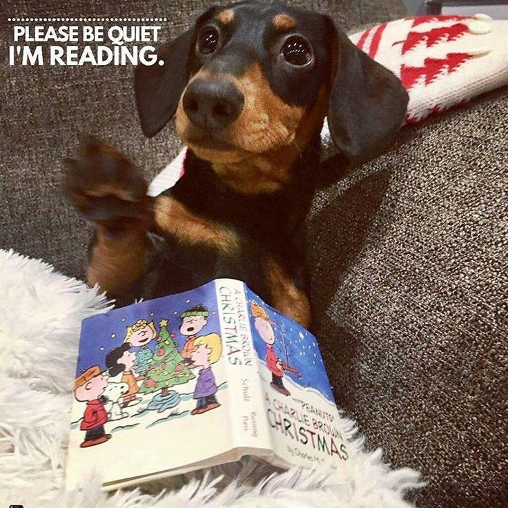"9 Likes, 2 Comments - Dachshund Quotes & Pictures (@mydachshundfamily) on Instagram: ""I'm sorry... . @longfellowbigglesworth"""