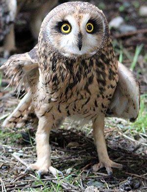 Winnie shorteared owl @OWLRehab