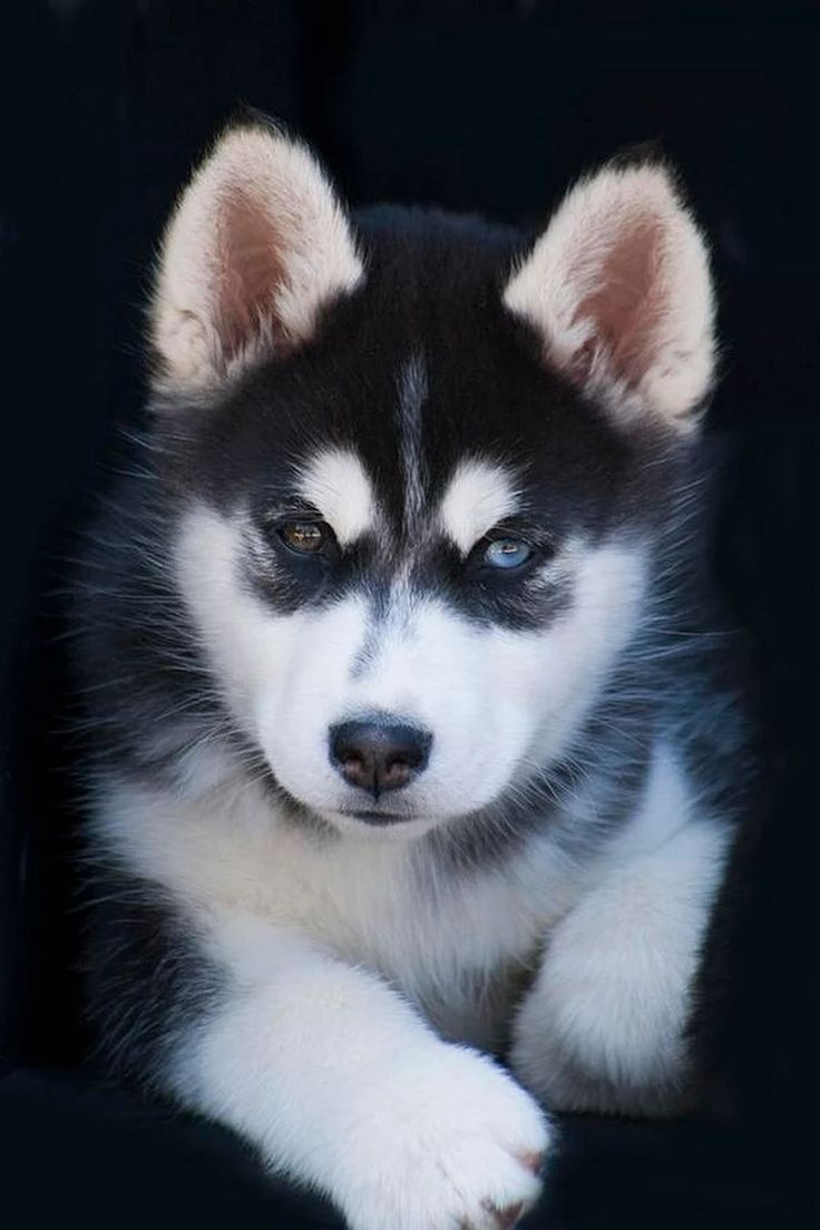 Husky puppies for sale yucca valley - Adorable Siberian Husky Sled Dog Puppy By Kathy Clark Adorable Siberian Husky Sled Dog Puppy Photograph Adorable Siberian Husky Sled Dog Puppy Fine Art