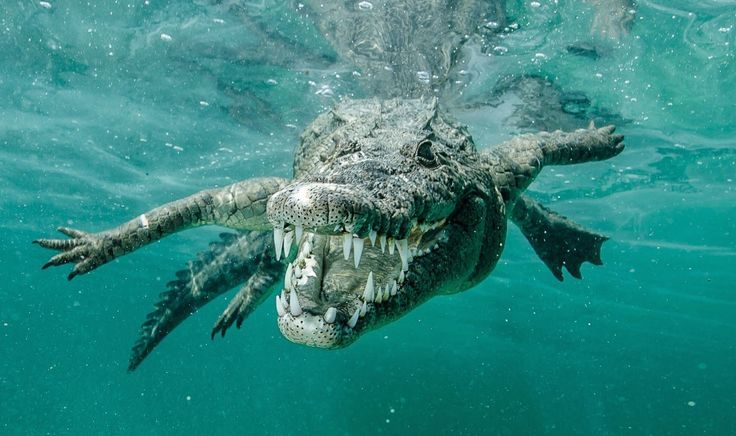 Snorkeler comes face to face with crocodiles, snaps photos July 03, 2015 by David Strege Ricardo Castillo was snorkeling off Cuba in hopes of capturing photos of sharks. Instead, he encountered a different type of jaws in saltwater crocodiles.